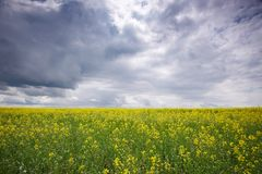 油菜籽领域,开花的油菜花紧密  域强奸夏天 免版税库存图片