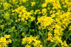 油菜籽领域,开花的油菜花紧密  明亮的黄色菜子油 库存照片