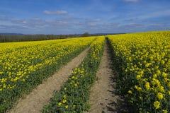 油菜籽领域,苏克塞斯 免版税库存照片