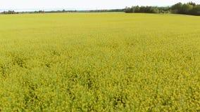 油菜籽领域-明亮的黄色颜色和喜怒无常的天空空中顶视图在美好的晴朗的天气期间的在背景中 股票视频
