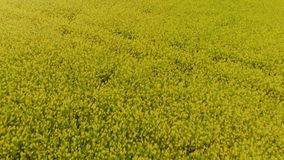 油菜籽领域-明亮的黄色颜色和喜怒无常的天空空中顶视图在美好的晴朗的天气期间的在背景中 影视素材
