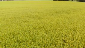 油菜籽领域-明亮的黄色颜色和喜怒无常的天空空中顶视图在美好的晴朗的天气期间的在背景中 股票录像