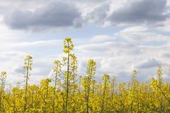 油菜籽领域 图库摄影