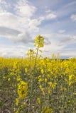油菜籽领域 免版税库存照片