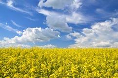 油菜籽领域 免版税图库摄影