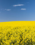 油菜籽领域 免版税库存图片