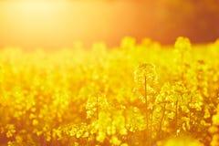 油菜籽领域 库存图片