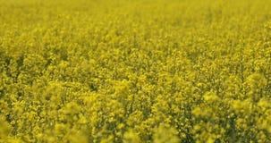 油菜籽,机架焦点的领域 影视素材