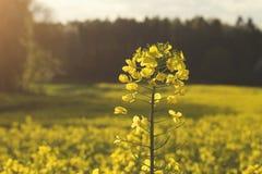 油菜籽黄色领域 库存照片