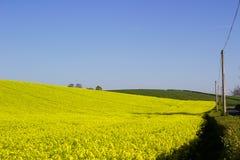 油菜籽oi的领域有它明亮的黄色头状花序的爱尔兰农场,被对比反对清楚的蓝天在ea的一个晴天 免版税图库摄影