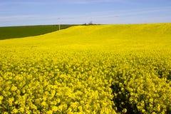 油菜籽oi的领域有它明亮的黄色头状花序的爱尔兰农场,被对比反对清楚的蓝天在ea的一个晴天 图库摄影