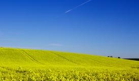 油菜籽oi的领域有它明亮的黄色头状花序的爱尔兰农场,被对比反对清楚的蓝天在ea的一个晴天 库存照片
