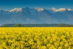 油菜领域和高多雪的山, Fagaras,喀尔巴汗,罗马尼亚 库存照片