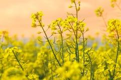 油菜领域在一个明亮的晴朗的春日 免版税库存图片