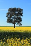 油菜领域在农村澳大利亚 图库摄影