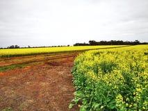 油菜领域在北澳大利亚西部 图库摄影