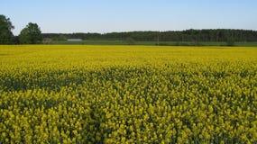 油菜领域在国家边 库存图片