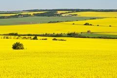 油菜领域在夏天 免版税库存图片
