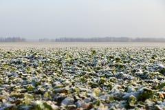 油菜领域在早期的冬天 图库摄影