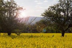 油菜领域在春天 库存图片