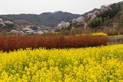 油菜领域在hanamiyama的春季 免版税库存图片