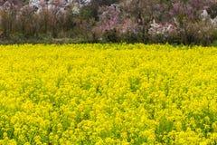 油菜领域在hanamiyama的春季 库存照片