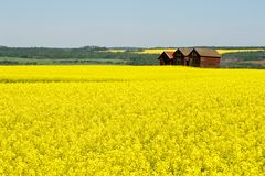 油菜领域的被放弃的粮仓 免版税库存图片