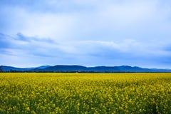 油菜领域风景 免版税库存照片