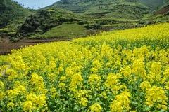 油菜领域风景 库存照片