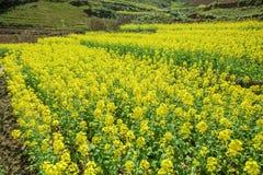 油菜领域风景 图库摄影
