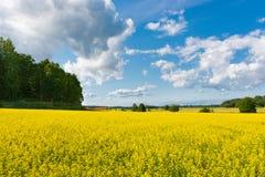 油菜领域,瑞典 库存照片