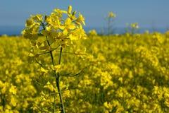 油菜coleseed开花,反对蓝天的油菜籽领域 免版税库存照片