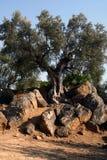 油西西里岛结构树 库存照片