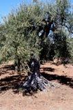 油西西里岛结构树 免版税图库摄影