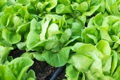黄油顶头菜种植园 免版税库存图片