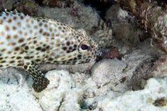 油腻石斑鱼(ephinephelus tauvina)在红海。 免版税图库摄影