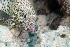 油腻石斑鱼(ephinephelus tauvina)在红海。 图库摄影