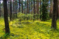 沼地如从一块童话沼地在用青苔一张绿色地毯盖的森林里  图库摄影