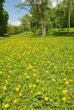 沼地用蒲公英。春天 免版税库存照片