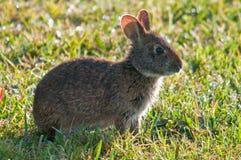 沼泽兔子 库存图片