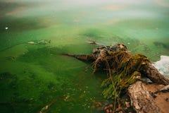 沼泽和绿色水,树 免版税图库摄影