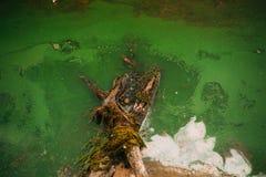 沼泽和绿色水,树 免版税库存图片