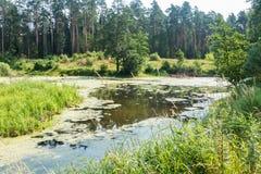 沼泽在森林里在夏天俄罗斯 免版税库存图片