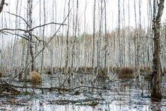 沼泽在森林里在春天 图库摄影