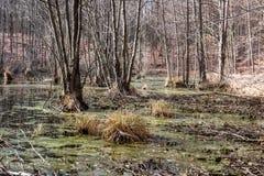 沼泽在森林里在春天 免版税库存照片