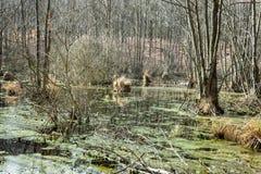 沼泽在森林里在春天 库存图片