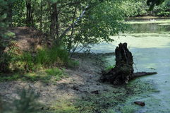 沼泽在森林里,夏日 库存照片