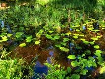沼泽在森林里 免版税库存图片