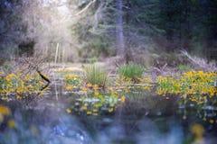 沼泽在森林里 免版税库存照片