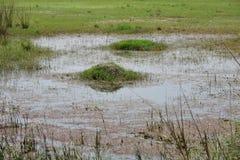 沼泽地俏丽的看法,海藻形成在水,与宽裕的空间的完善的自然本底中文本的,消息 库存图片